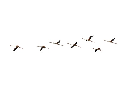 isolated flying flamingo flight on white Imagens