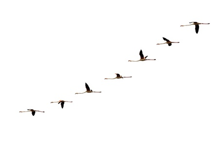 isolated gradual flying flamingo flight on white Imagens