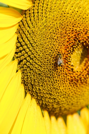 genetically modified: Bee on the genetically modified sunflower