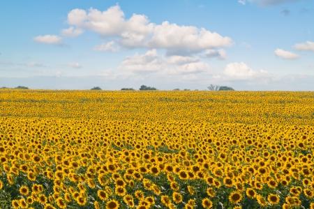genetically: Genetically modified growing sunflowers harvest in the field