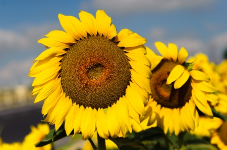 genetically modified: Genetically modified growing sunflowers in the field