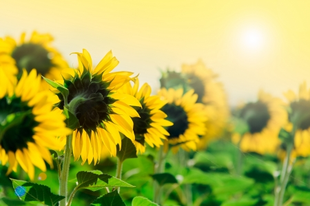 Growing sunflowers under the sun in field near Edirne Turkey photo