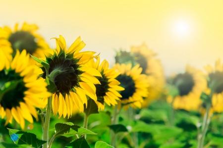Growing sunflowers under the sun in field near Edirne Turkey photo