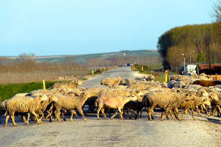 Group of sheep crossing the road in countryside of Edirne Turkey photo