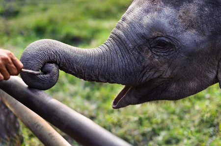 baby elephant playing stick with trunk