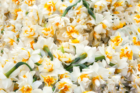 white daffodils flowers bouquet in garden Turkish nergis mythologic narcissus Stok Fotoğraf