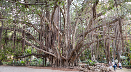 algiers: ALGIERS, ALGERIA - SEP 24, 2016: Big old tree in Botanical Garden of Hamma in Algiers. It was established in 1832 and is now still considered one of the most important botanical gardens in the world. Editorial