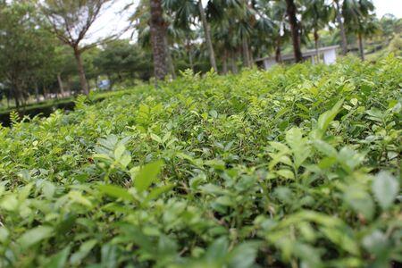 いくつか緑の茂みを前に切られました。しかし、彼らは新しい葉を生産します。