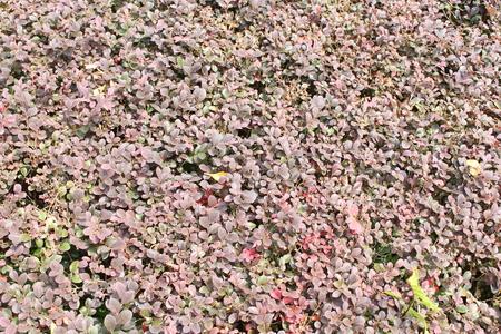 いくつか赤い茂みが前に切られました。しかし、彼らは新しい葉を生産します。