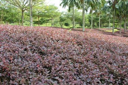 いくつか赤い茂みが前に切られました。しかし、彼らは新しい葉を生産します。いくつかの梅の木が、背後にある他のツリーに追加されます。 写真素材