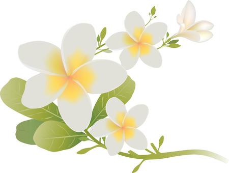 プルメリアのお花と葉を白で隔離