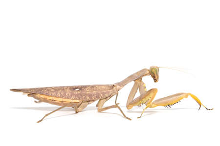 european mantis: Praying mantis, mantis religiosa isolated on white background Stock Photo