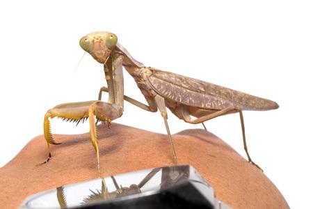 religiosa: Praying mantis, mantis religiosa isolated on white background Stock Photo