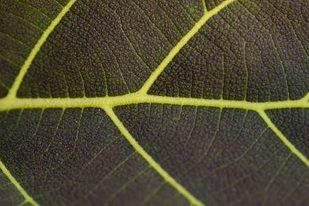beta cells: purple leave texture
