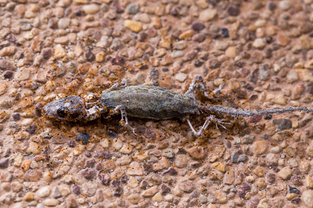 harmonize: Ant troop trying to move a dead lizard Stock Photo