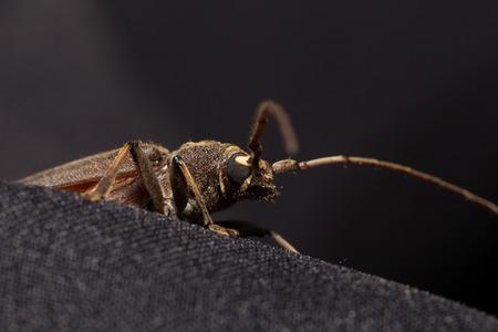cerambycidae: Coleoptera-Cerambycidae on black background Stock Photo
