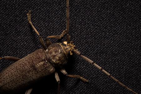 mandibles: Coleoptera-Cerambycidae on black background Stock Photo
