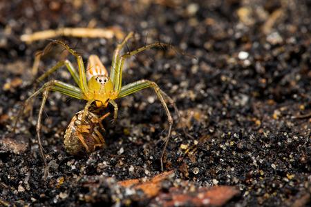 prey: Lynx spider with prey