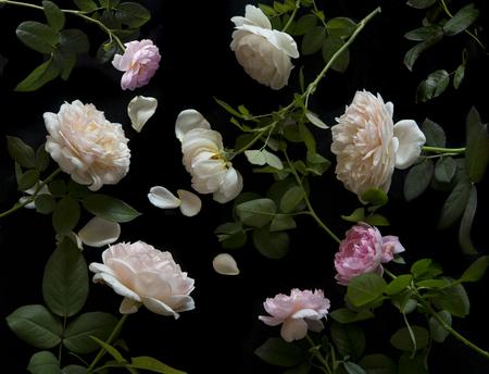roses garden: English Roses Stock Photo