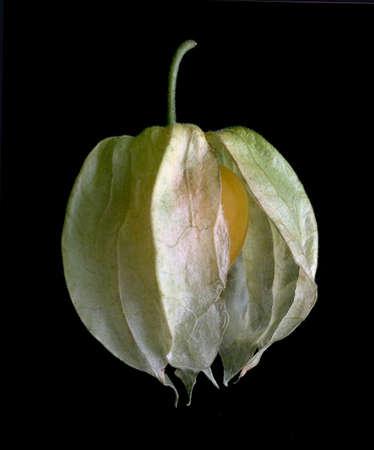 grosella: cabo gooseberry