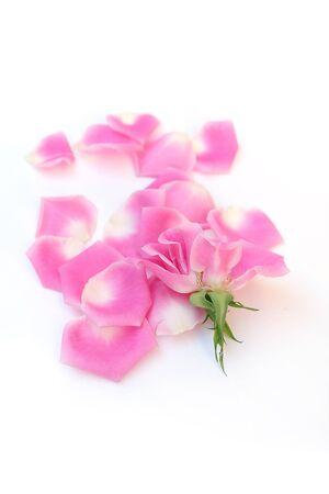 deep focus: pink rose on white background. Deep focus Stock Photo