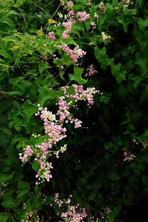 light chains: beautiful pink flowers in the garden ,Coral Vine or Antigonon leptopus Hook