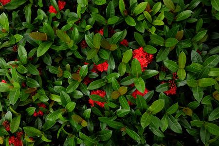 Red spike flower.King Ixora blooming in garden.(Ixora chinensis)