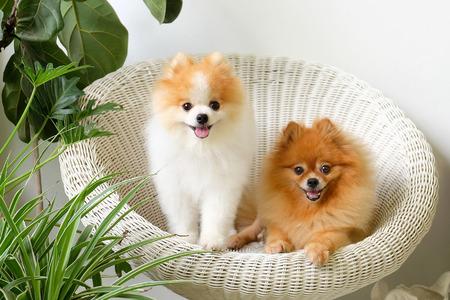 Pomeraniaanse glimlach, dieren spelen buiten glimlach, De hond zat gelukkig in een mooie witte stoel.