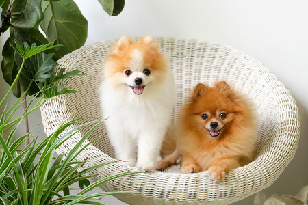 Sonrisa pomeranian, el animal que juega afuera sonríe, el perro se sentó feliz en una silla blanca hermosa. Foto de archivo - 80937170