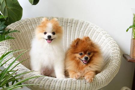 Sourire de Pomeranian, animal jouant dehors des sourires, Le chien s'est assis heureusement dans une belle chaise blanche. Banque d'images - 80895059