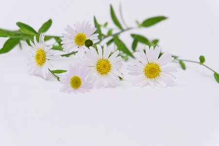 Chamomile garden / white flowers of German chamomile daisy. Stockfoto