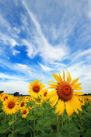 girasol con el cielo bule agradable photo
