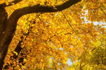 beautiful yellow maple  branch in autumn seasonal