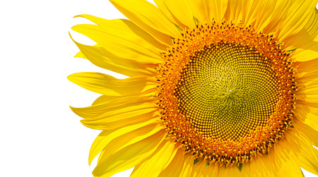 close-up of a beautiful sunflower