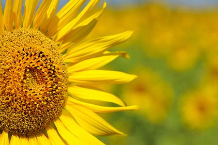 close-up of a beautiful sunflower in a field Reklamní fotografie