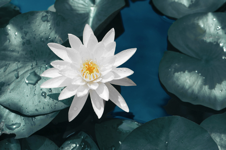 Beautiful of white lotus flower against on  water and green leaves