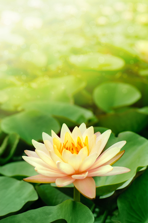 beautiful lotus flower in blooming at sunset Stock Photo