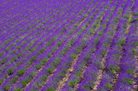 lavender field of Hokkaido , in japan Stock Photo