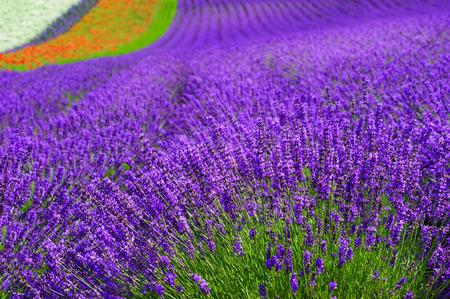 lavender field at Hokkaido in japan