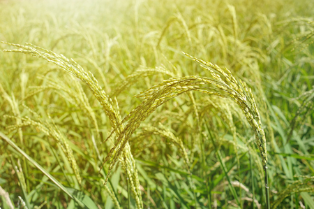 Young rice field with sunlight in the morning Stock Photo