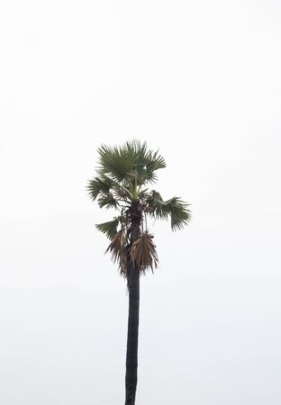 The tree and the backdrop are white.Coconut tree with sky