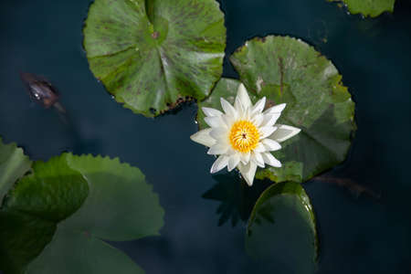 white lotus flowers in the lake selective focus