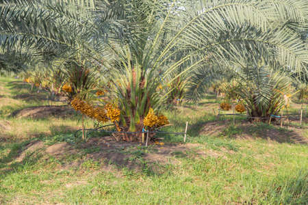 Bunch of palm fruit Thailand. Agriculture economy / new season dates on a date palm tree 免版税图像