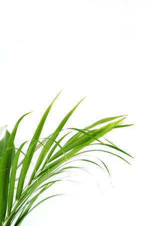 Fresh green palm leaves isolated on white background, summer plants object