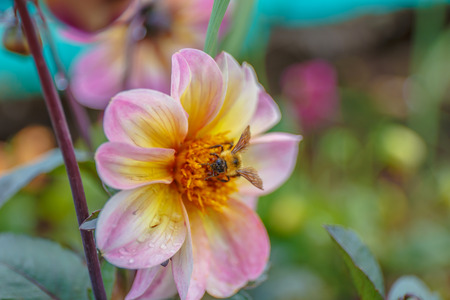A bee busy drinking nectar from the flower Stock Photo