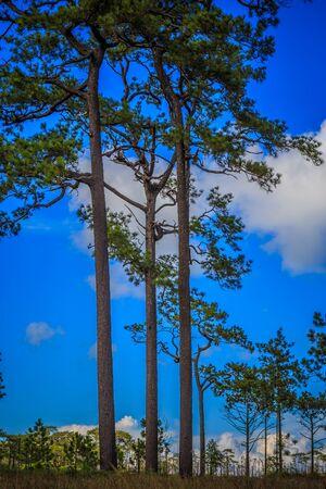 pine three: three pine tree and blue sky