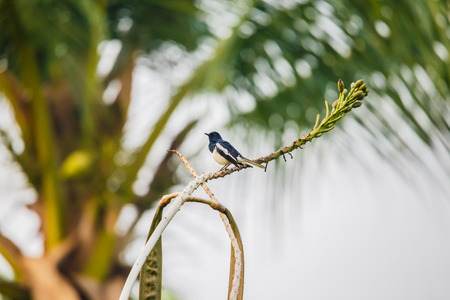 Oriental Magpie Robin perched on tree