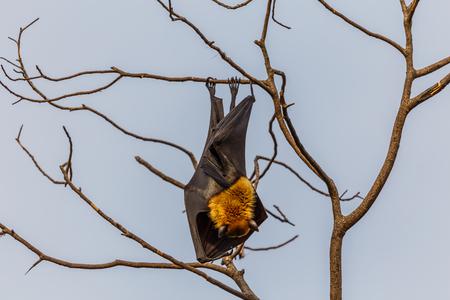 pteropus: Lyles flying fox - (Pteropus lylei) Stock Photo