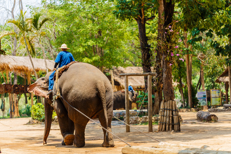 ancients: elephant show at The Thai Elephant Conservation Center, mahout and elephant to show how the lives of the ancients in Chiang Mai, Thailand Stock Photo