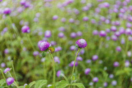 globosa: Globe amaranth flowers ,Gomphrena (Gomphrena Globosa Purple) , in garden selective focus